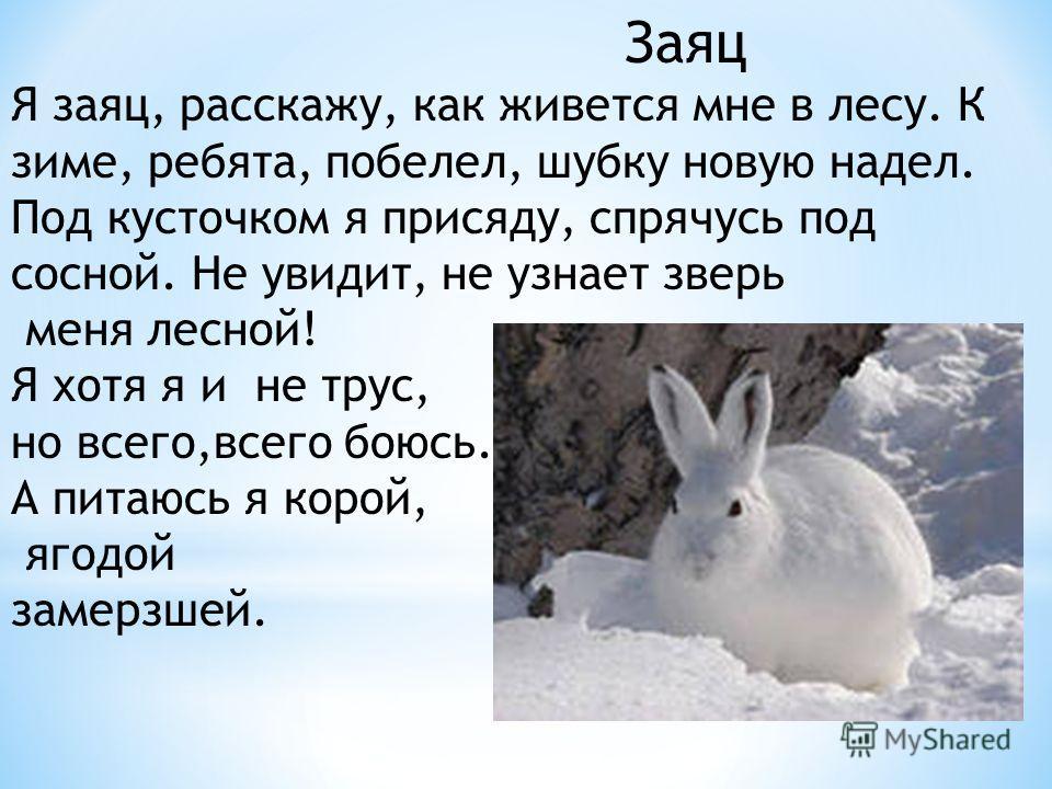 Заяц Я заяц, расскажу, как живется мне в лесу. К зиме, ребята, побелел, шубку новую надел. Под кусточком я присяду, спрячусь под сосной. Не увидит, не узнает зверь меня лесной! Я хотя я и не трус, но всего,всего боюсь. А питаюсь я корой, ягодой замер