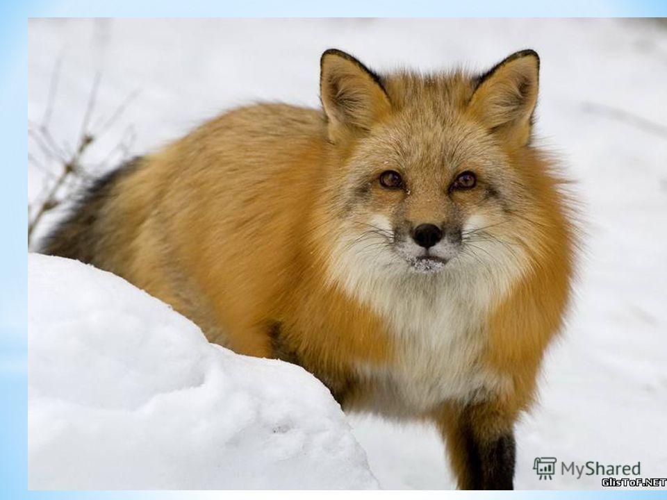 «Лиса» Я зимы не боюсь, в шубу теплую ряжусь. Хвост красивый какой – мне он нравится самой! Живу в норе. Там сплю, отдыхаю, а затем охотится начинаю. Ищу мышку полевую или живность какую. Хочу зайца поймать, но мне его не догнать! Об этом, наверное,