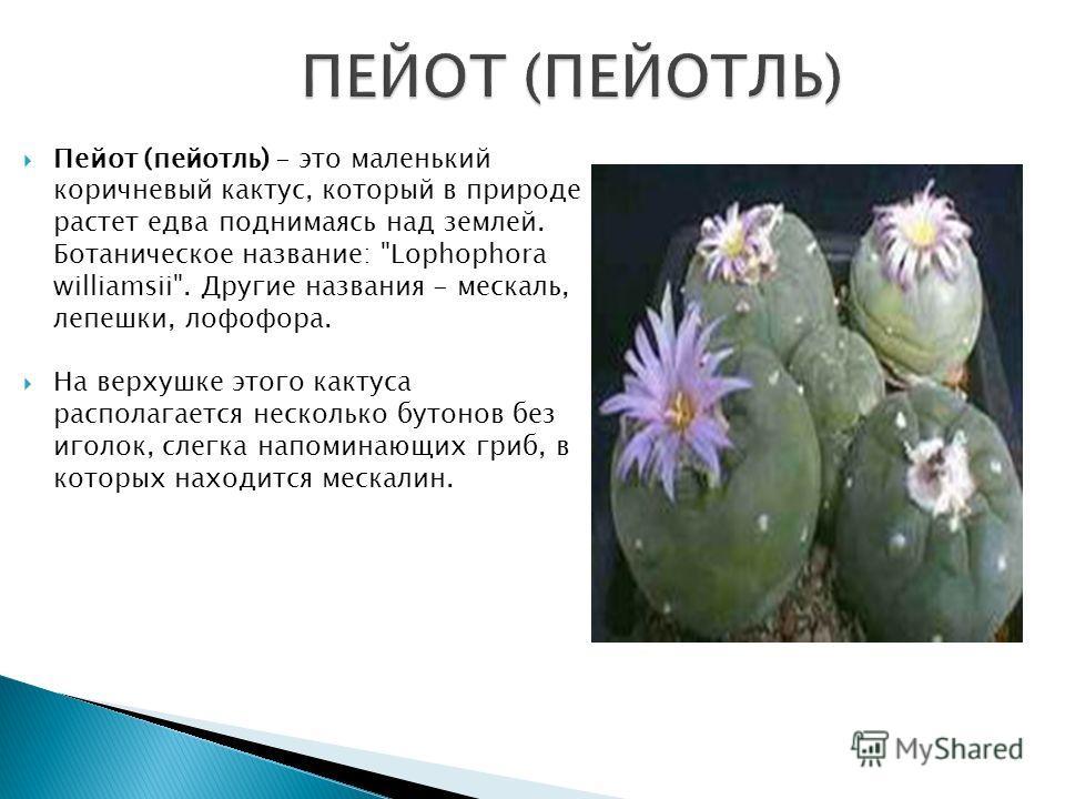 Пейот (пейотль) - это маленький коричневый кактус, который в природе растет едва поднимаясь над землей. Ботаническое название: