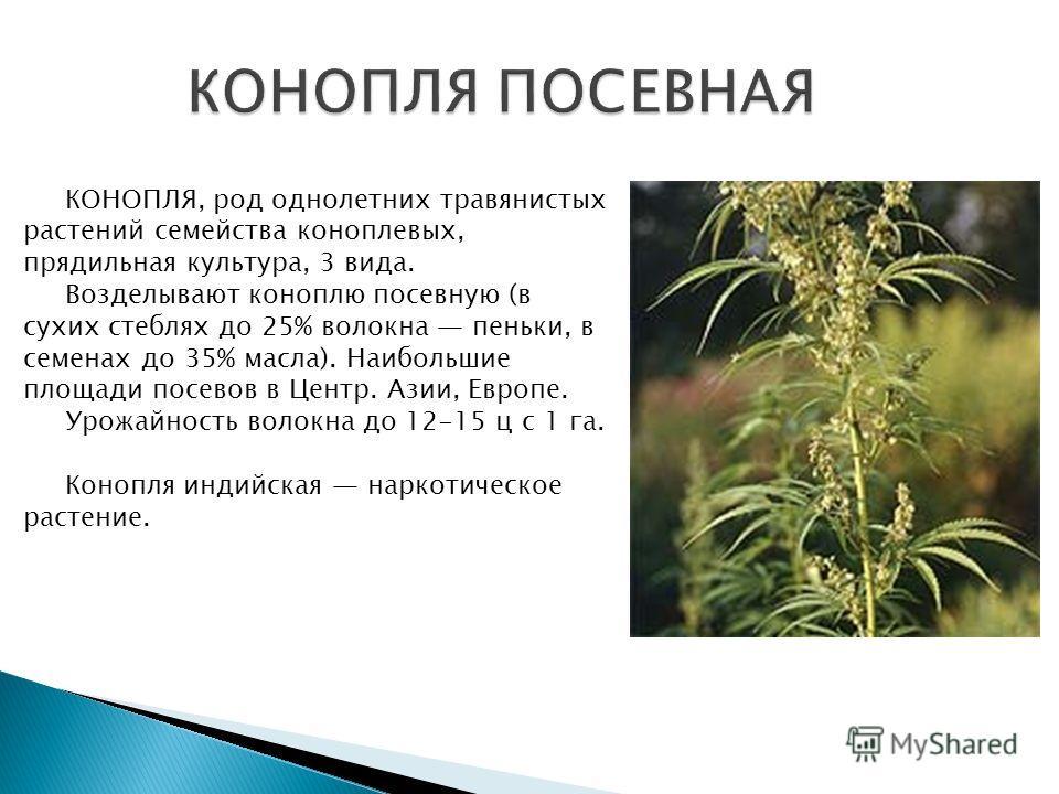 КОНОПЛЯ, род однолетних травянистых растений семейства коноплевых, прядильная культура, 3 вида. Возделывают коноплю посевную (в сухих стеблях до 25% волокна пеньки, в семенах до 35% масла). Наибольшие площади посевов в Центр. Азии, Европе. Урожайност