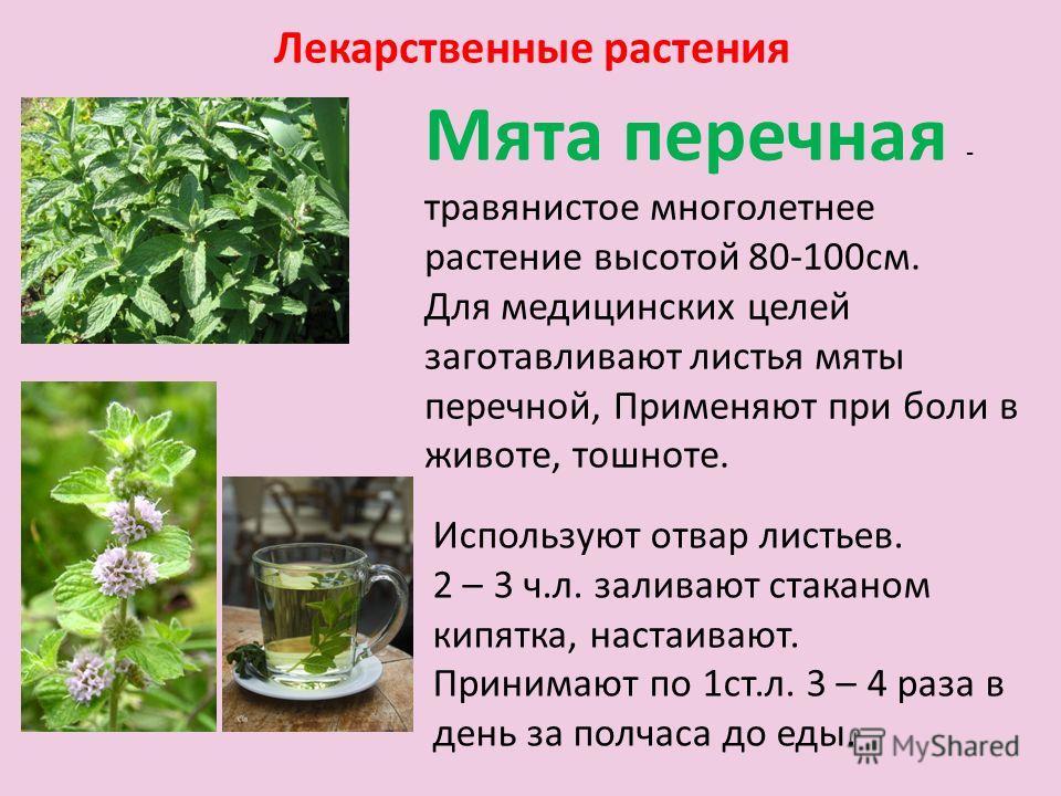 мята фото растения