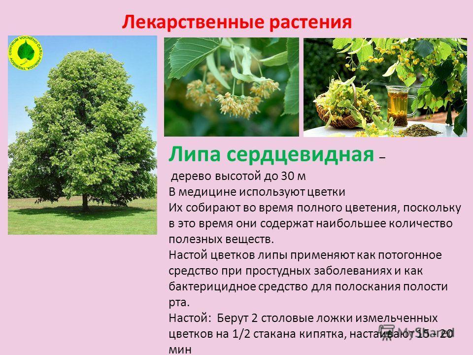 Лекарственные растения Липа сердцевидная – дерево высотой до 30 м В медицине используют цветки Их собирают во время полного цветения, поскольку в это время они содержат наибольшее количество полезных веществ. Настой цветков липы применяют как потогон