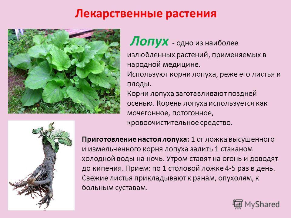 Лекарственные растения Лопух - одно из наиболее излюбленных растений, применяемых в народной медицине. Используют корни лопуха, реже его листья и плоды. Корни лопуха заготавливают поздней осенью. Корень лопуха используется как мочегонное, потогонное,