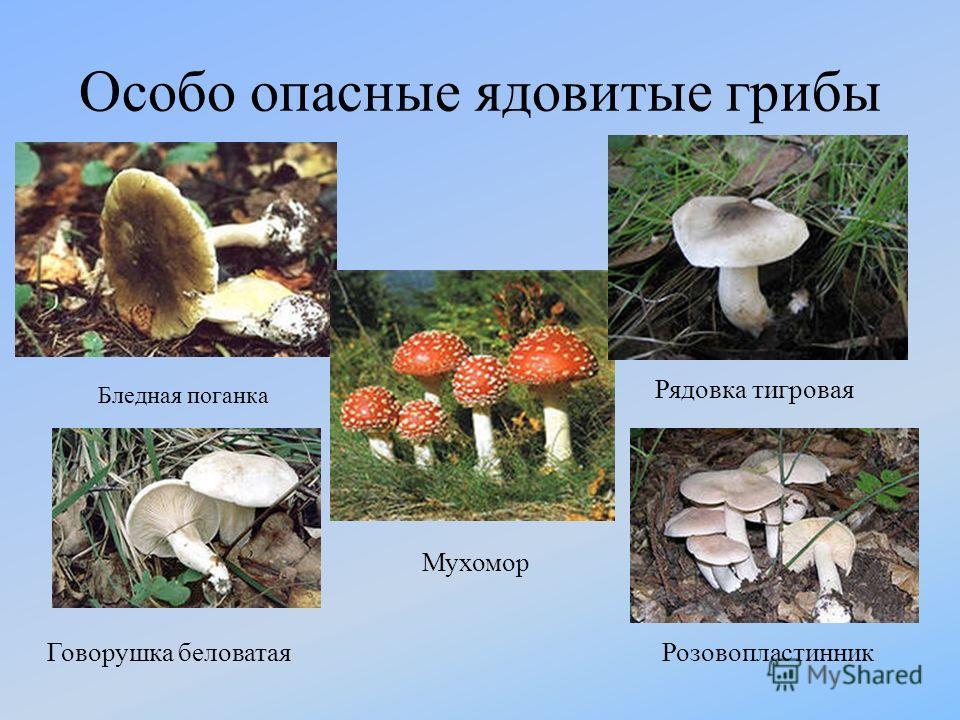 Особо опасные ядовитые грибы Рядовка тигровая Мухомор Бледная поганка Говорушка беловатаяРозовопластинник
