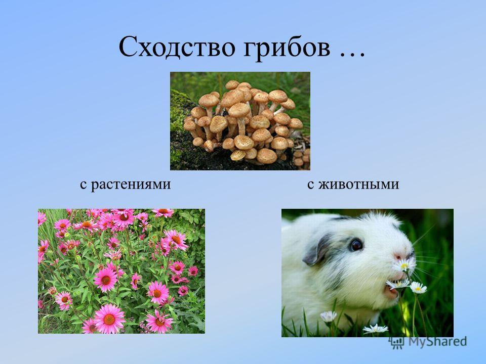 Сходство грибов … с растениямис животными