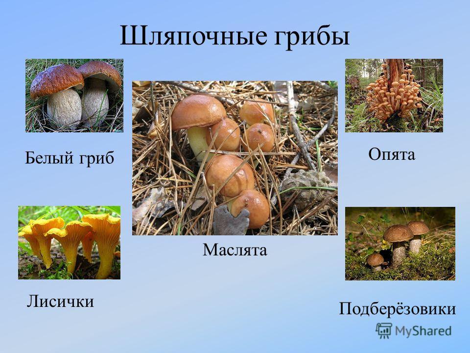 Шляпочные грибы Белый гриб Маслята Опята Лисички Подберёзовики