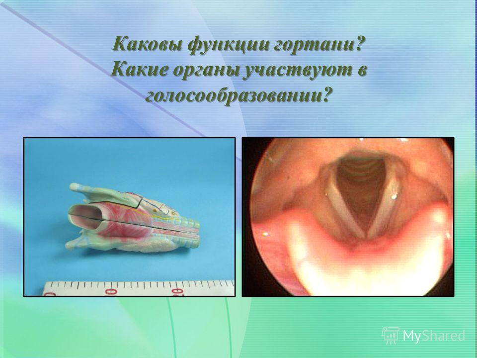 Каковы функции гортани? Какие органы участвуют в голосообразовании?