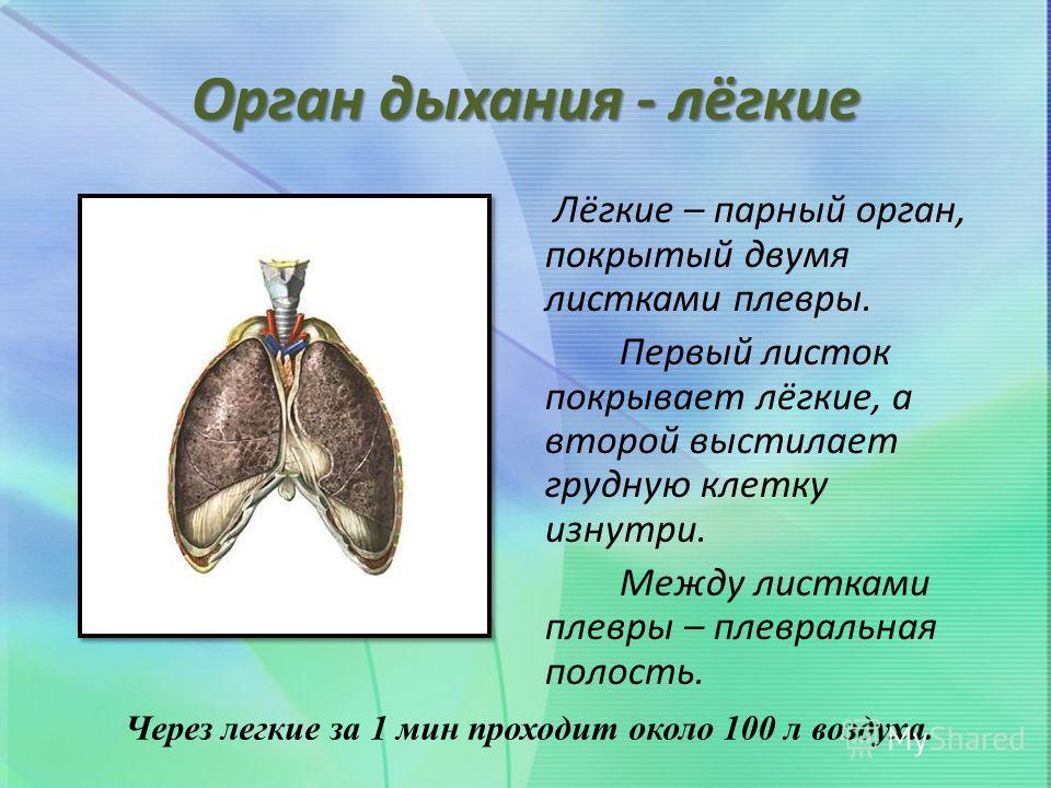 Орган дыхания - лёгкие Лёгкие – парный орган, покрытый двумя листками плевры. Первый листок покрывает лёгкие, а второй выстилает грудную клетку изнутри. Между листками плевры – плевральная полость. Через легкие за 1 мин проходит около 100 л воздуха.