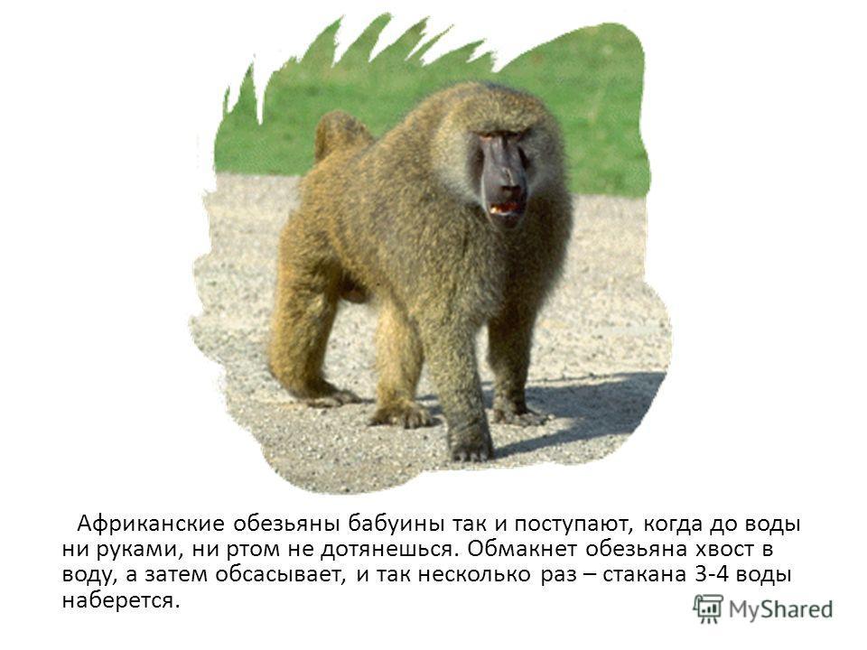 Африканские обезьяны бабуины так и поступают, когда до воды ни руками, ни ртом не дотянешься. Обмакнет обезьяна хвост в воду, а затем обсасывает, и так несколько раз – стакана 3-4 воды наберется.