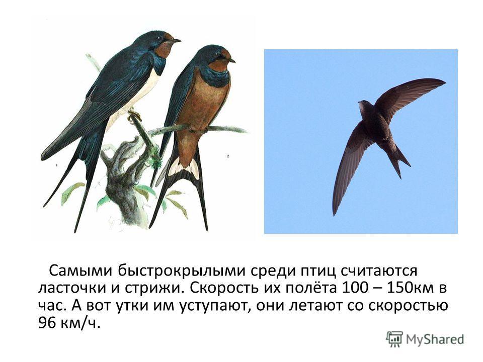 Самыми быстрокрылыми среди птиц считаются ласточки и стрижи. Скорость их полёта 100 – 150км в час. А вот утки им уступают, они летают со скоростью 96 км/ч.
