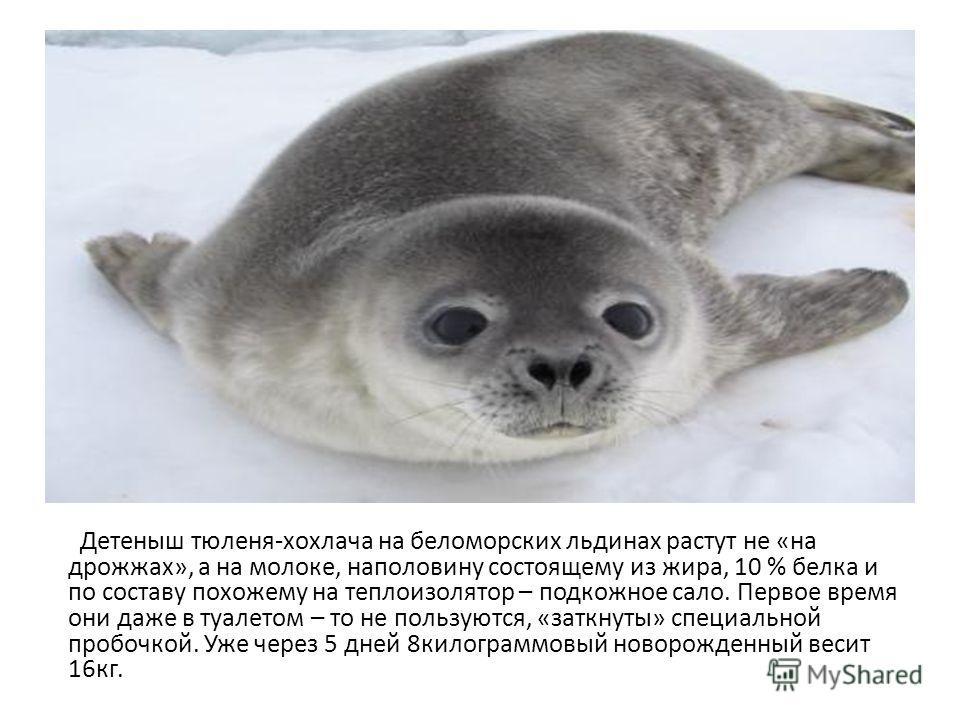 Детеныш тюленя-хохлача на беломорских льдинах растут не «на дрожжах», а на молоке, наполовину состоящему из жира, 10 % белка и по составу похожему на теплоизолятор – подкожное сало. Первое время они даже в туалетом – то не пользуются, «заткнуты» спец