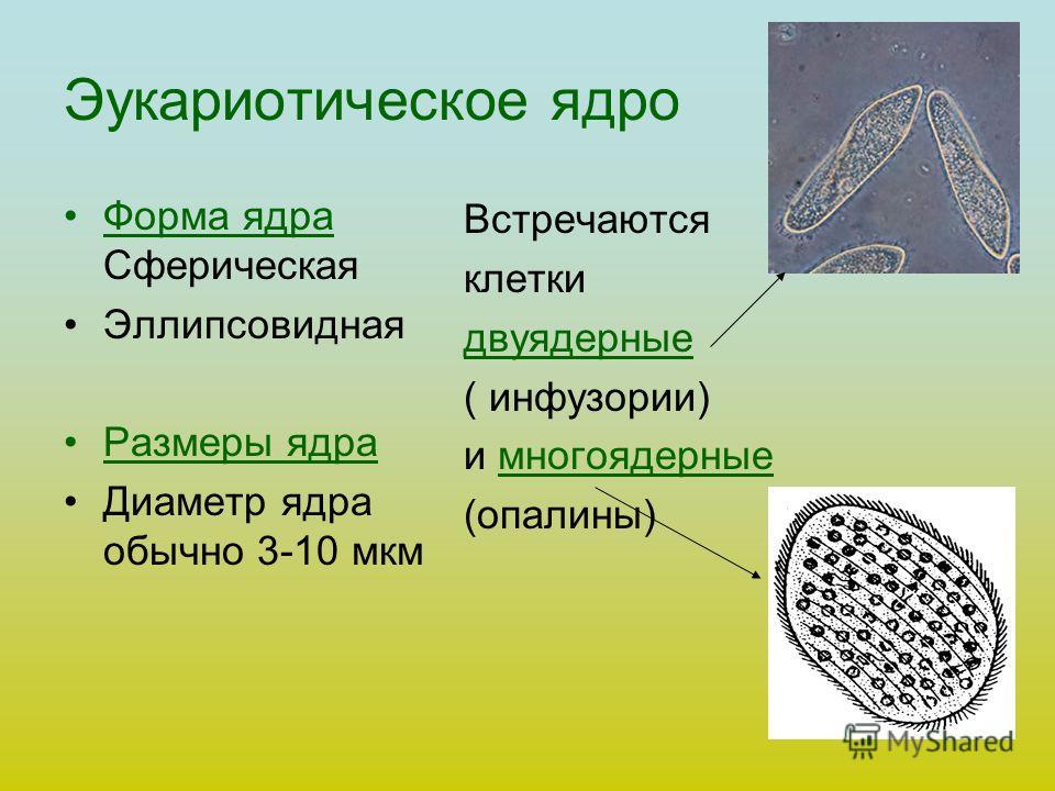 Эукариотическое ядро Форма ядра Сферическая Эллипсовидная Размеры ядра Диаметр ядра обычно 3-10 мкм Встречаются клетки двуядерные ( инфузории) и многоядерные (опалины)