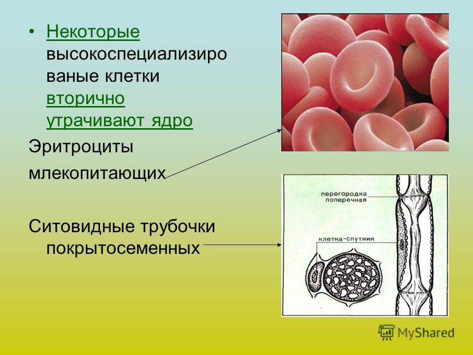 Некоторые высокоспециализиро ваные клетки вторично утрачивают ядро Эритроциты млекопитающих Ситовидные трубочки покрытосеменных