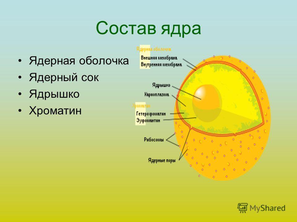 Состав ядра Ядерная оболочка Ядерный сок Ядрышко Хроматин