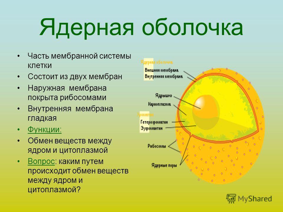Ядерная оболочка Часть мембранной системы клетки Состоит из двух мембран Наружная мембрана покрыта рибосомами Внутренняя мембрана гладкая Функции: Обмен веществ между ядром и цитоплазмой Вопрос: каким путем происходит обмен веществ между ядром и цито
