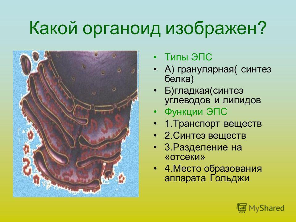 В каком органоиде происходит формирование лизосом