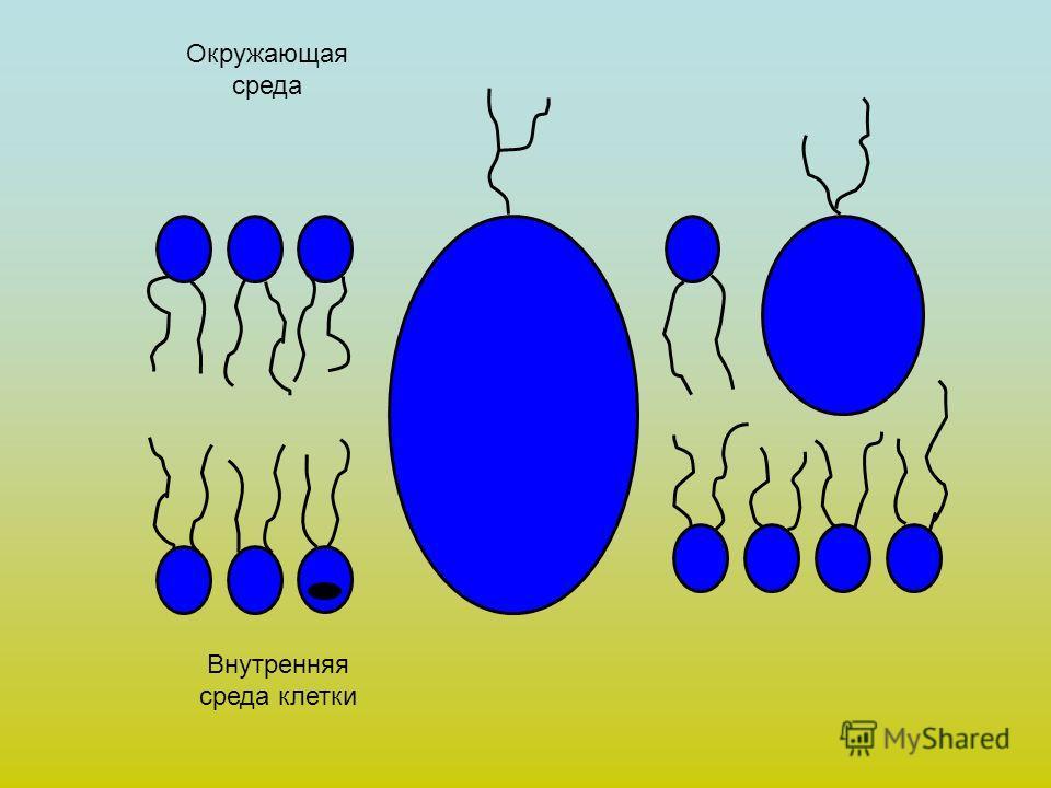 Окружающая среда Внутренняя среда клетки