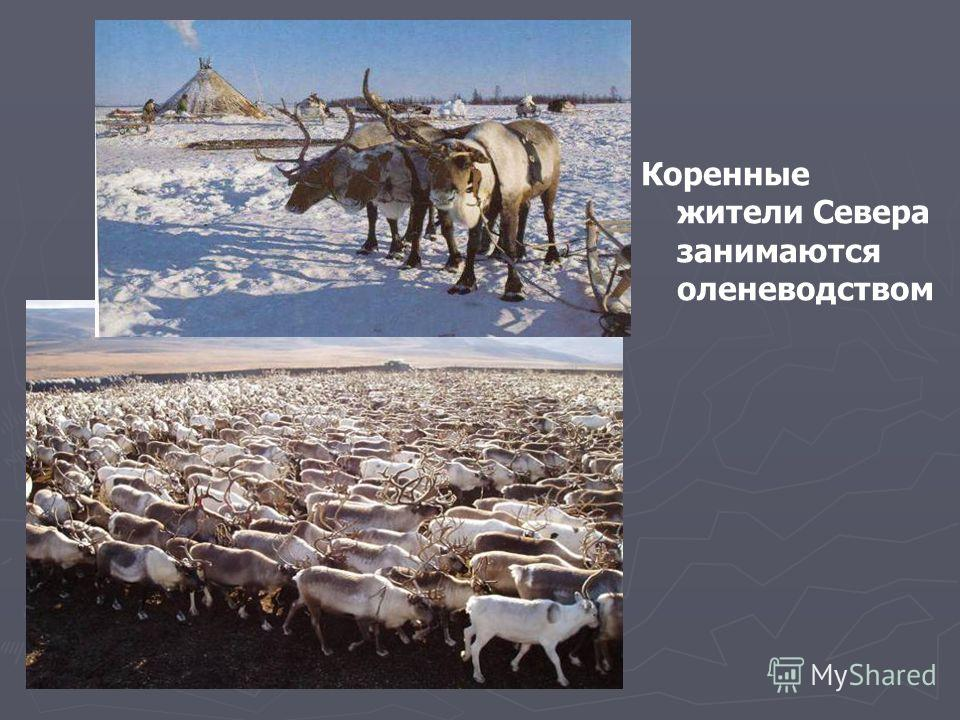Коренные жители Севера занимаются оленеводством