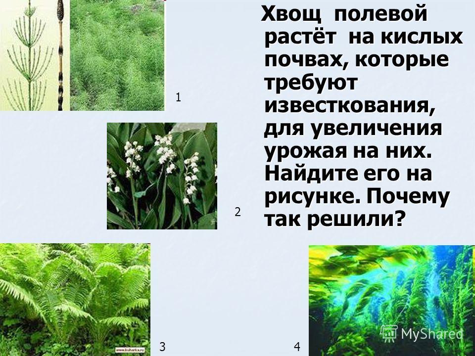 Хвощ полевой растёт на кислых почвах, которые требуют известкования, для увеличения урожая на них. Найдите его на рисунке. Почему так решили? Хвощ полевой растёт на кислых почвах, которые требуют известкования, для увеличения урожая на них. Найдите е