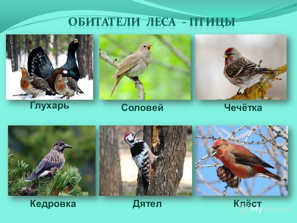 Кедровка Соловей Глухарь КлёстДятел Чечётка