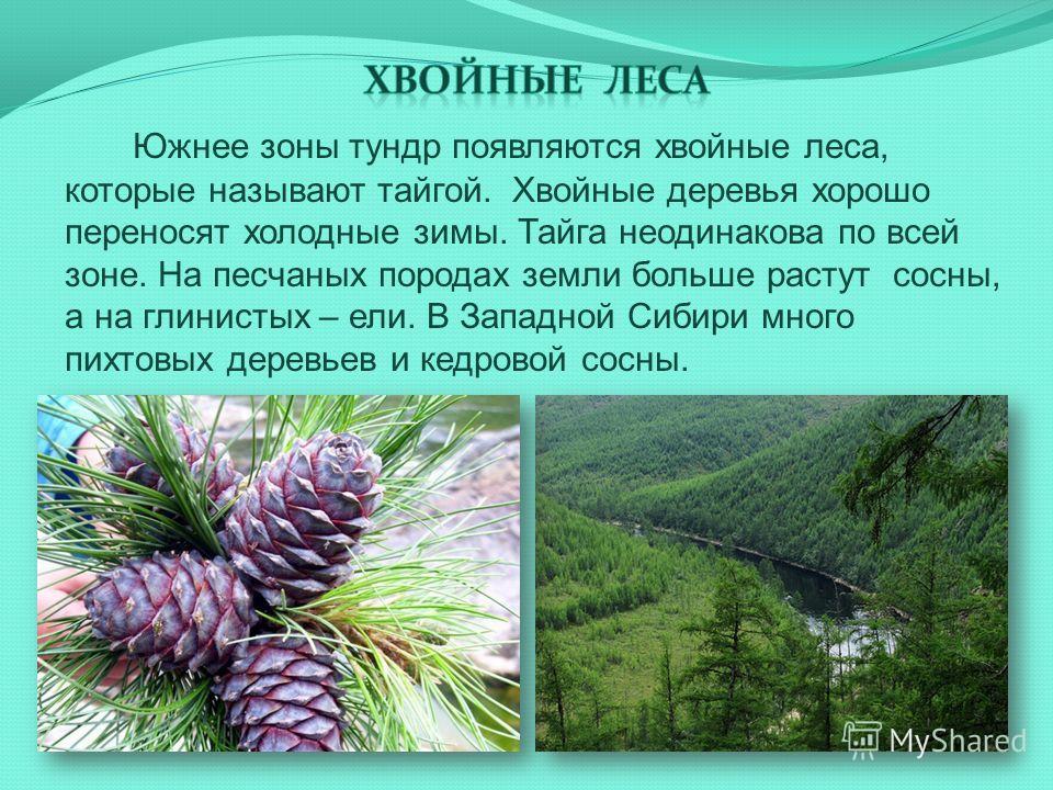 Южнее зоны тундр появляются хвойные леса, которые называют тайгой. Хвойные деревья хорошо переносят холодные зимы. Тайга неодинакова по всей зоне. На песчаных породах земли больше растут сосны, а на глинистых – ели. В Западной Сибири много пихтовых д