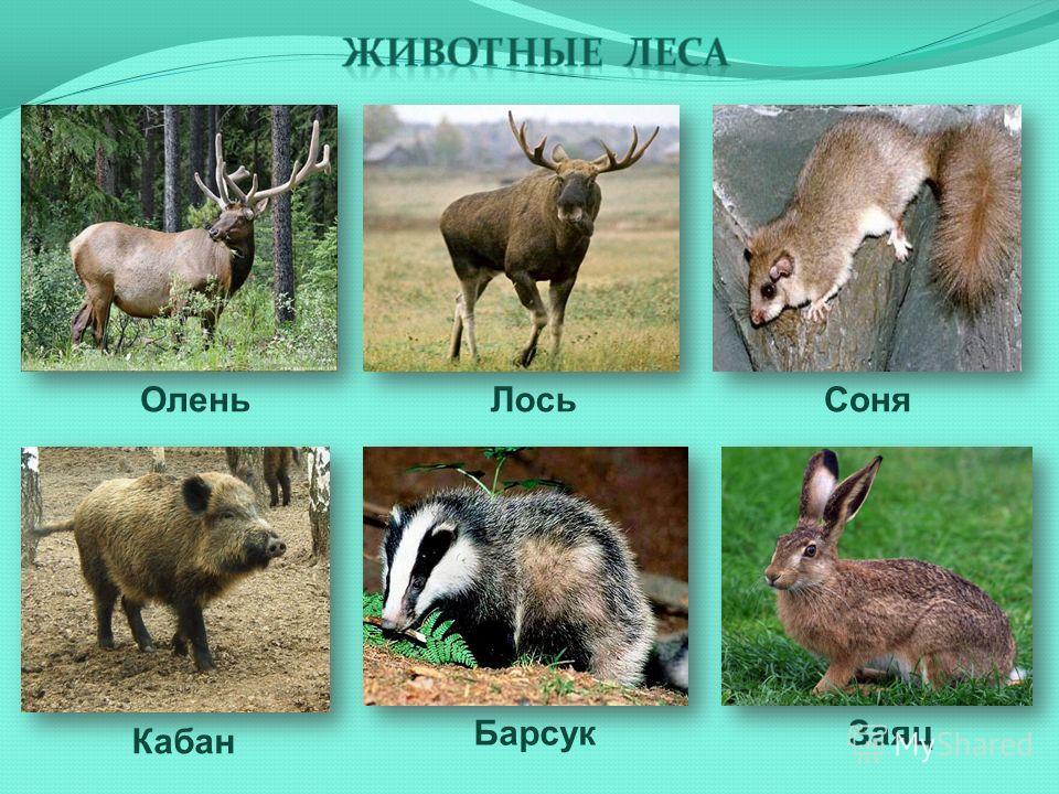 Олень ЗаяцБарсук Кабан ЛосьСоня