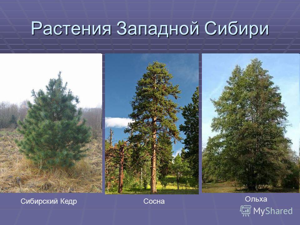 Растения Западной Сибири СоснаСибирский Кедр Ольха