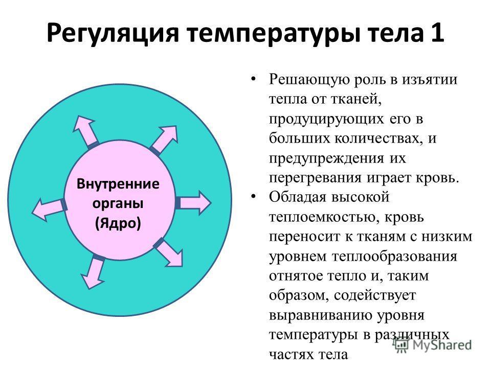 Регуляция температуры тела 1 Внутренние органы (Ядро) Решающую роль в изъятии тепла от тканей, продуцирующих его в больших количествах, и предупреждения их перегревания играет кровь. Обладая высокой теплоемкостью, кровь переносит к тканям с низким ур