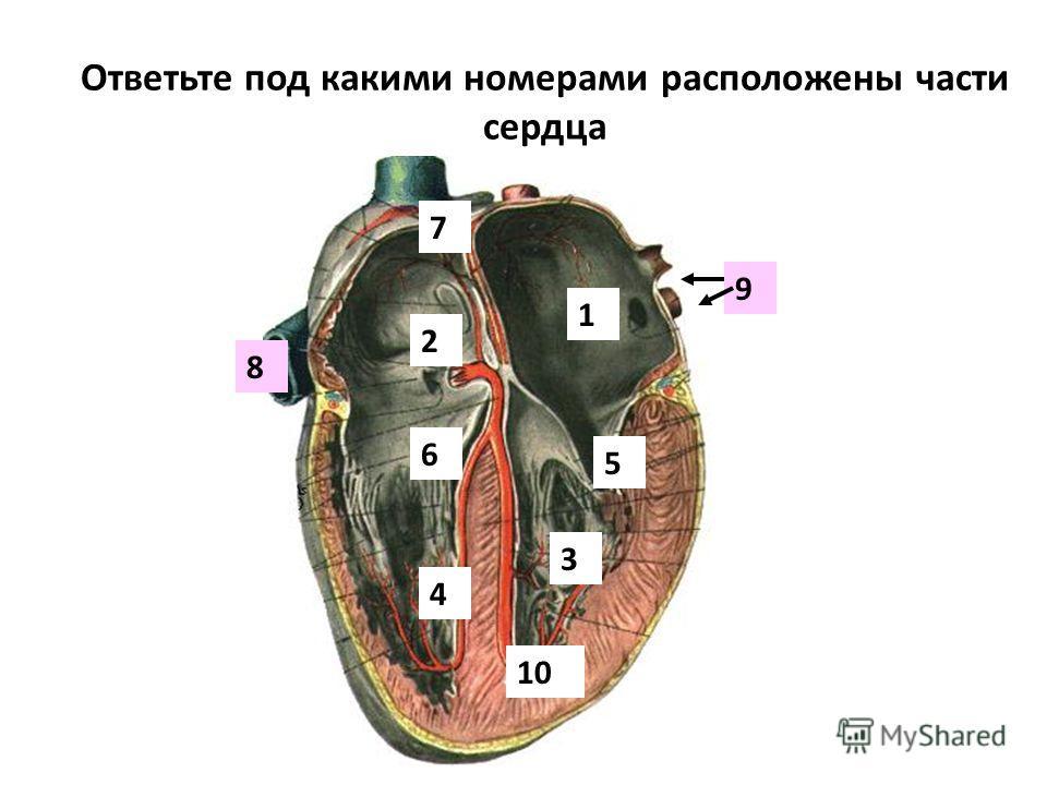 Ответьте под какими номерами расположены части сердца 1 2 3 4 5 6 7 8 9 10