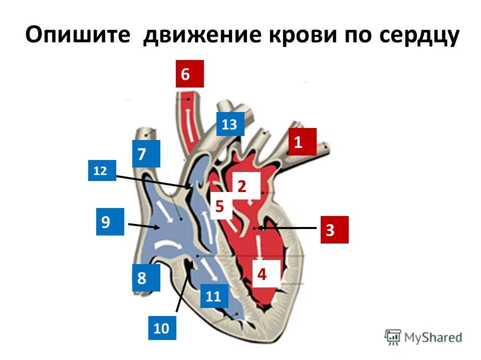 Опишите движение крови по сердцу 1 2 3 4 6 5 7 8 9 10 11 12 13