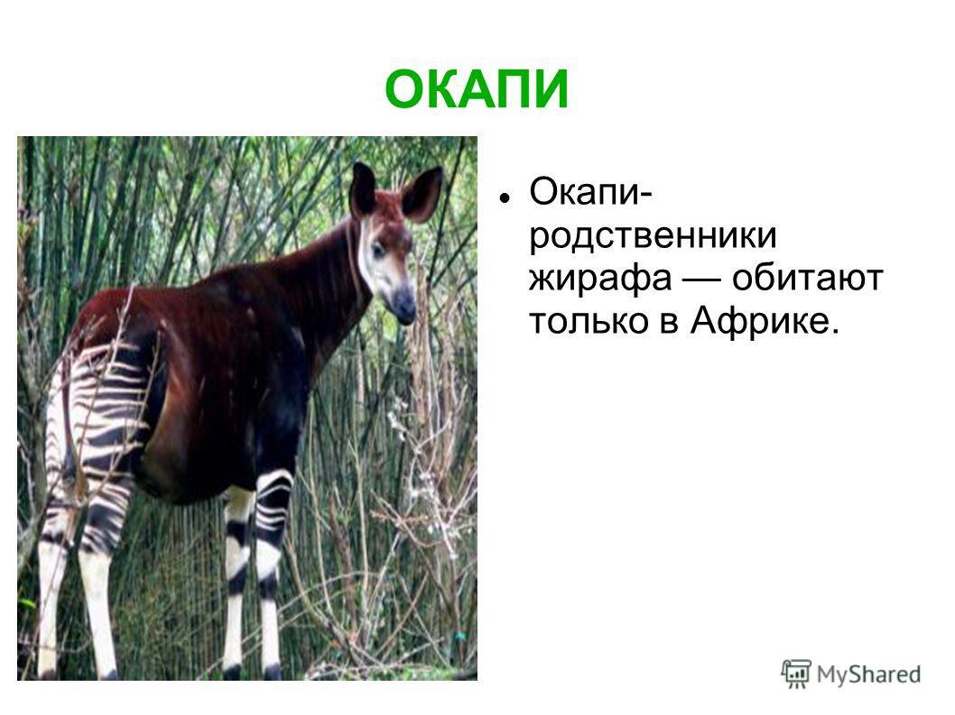 ОКАПИ Окапи- родственники жирафа обитают только в Африке.