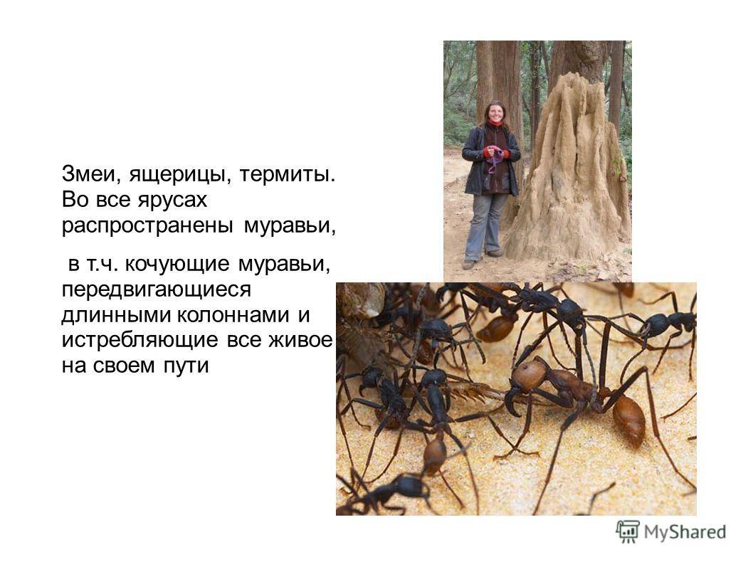 Змеи, ящерицы, термиты. Во все ярусах распространены муравьи, в т.ч. кочующие муравьи, передвигающиеся длинными колоннами и истребляющие все живое на своем пути