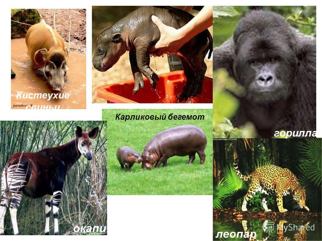 Кистеухие свиньи Карликовый бегемот окапи леопар д горилла