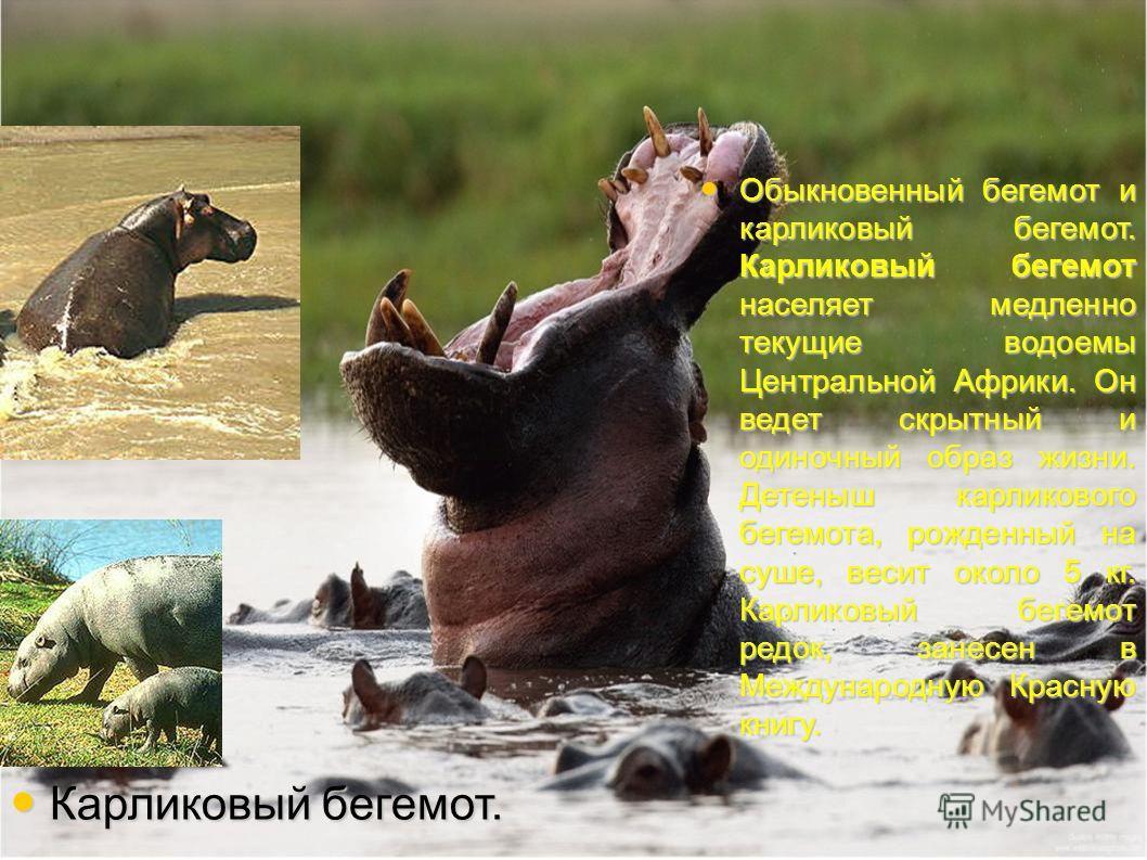 Обыкновенный бегемот и карликовый бегемот. Карликовый бегемот населяет медленно текущие водоемы Центральной Африки. Он ведет скрытный и одиночный образ жизни. Детеныш карликового бегемота, рожденный на суше, весит около 5 кг. Карликовый бегемот редок