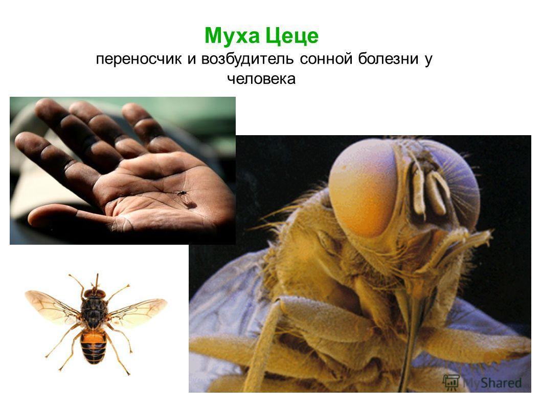 Муха Цеце переносчик и возбудитель сонной болезни у человека