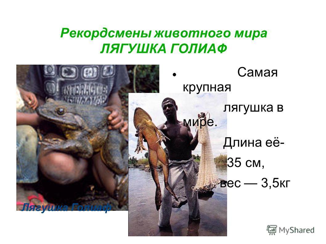 Рекордсмены животного мира ЛЯГУШКА ГОЛИАФ Лягушка Голиаф Самая крупная лягушка в мире. Длина её- 35 см, вес 3,5кг