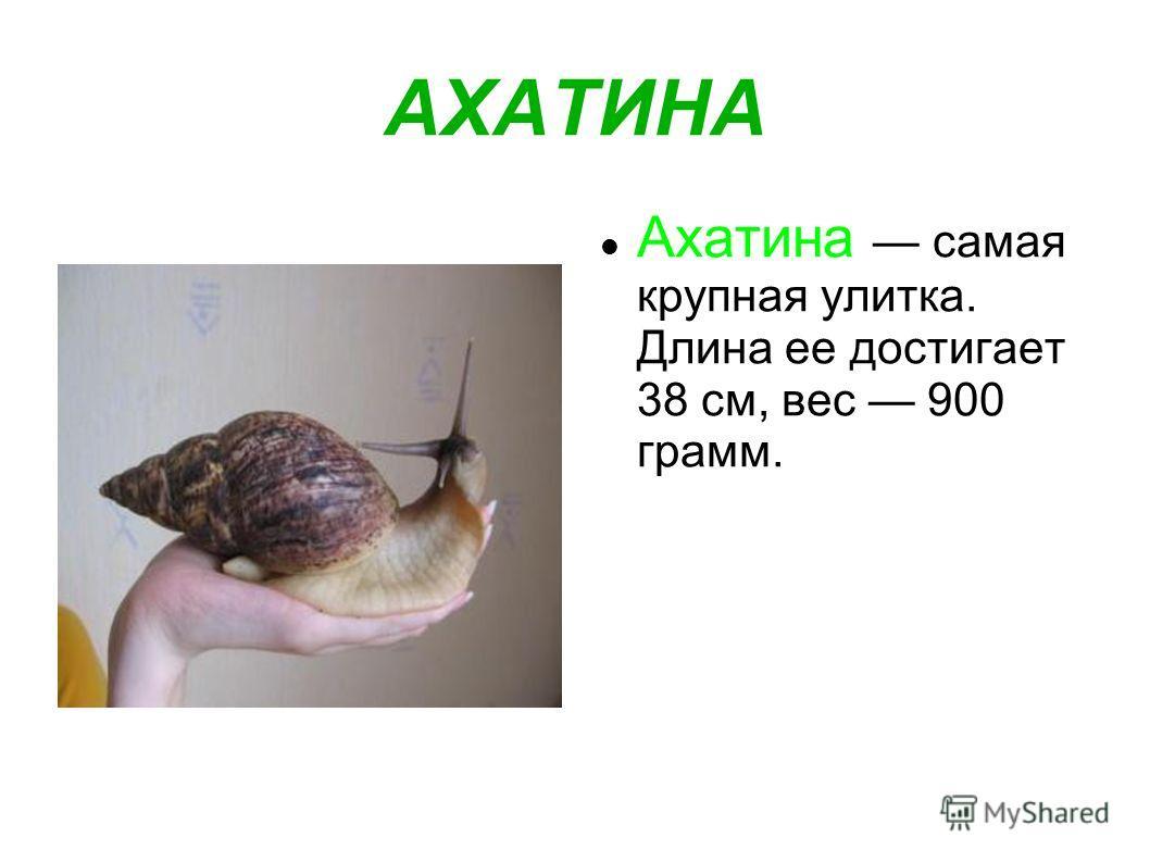 АХАТИНА Ахатина самая крупная улитка. Длина ее достигает 38 см, вес 900 грамм.