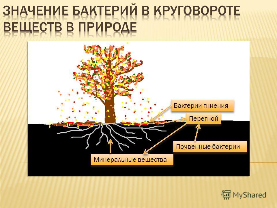 Бактерии гниения Перегной Почвенные бактерии Минеральные вещества