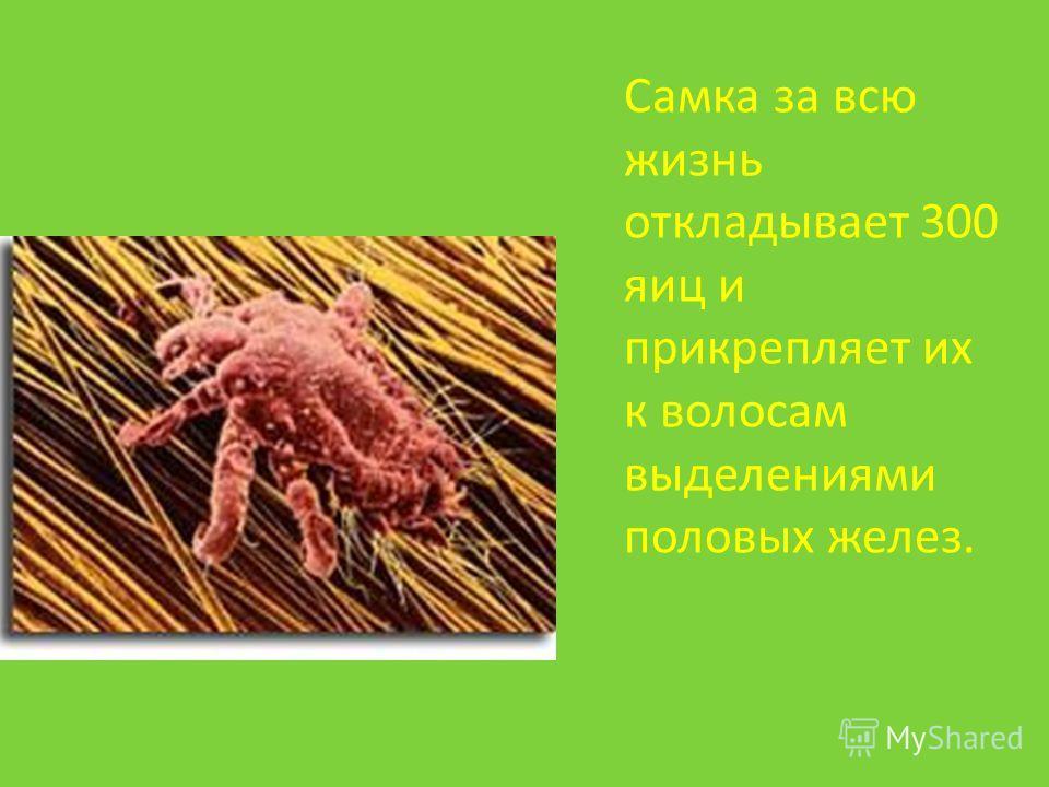 Самка за всю жизнь откладывает 300 яиц и прикрепляет их к волосам выделениями половых желез.