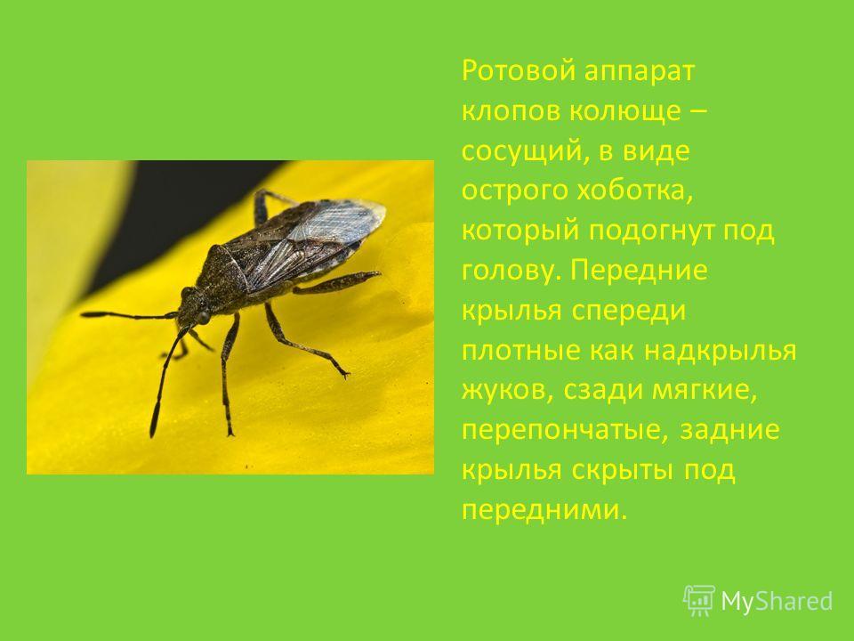 Ротовой аппарат клопов колюще – сосущий, в виде острого хоботка, который подогнут под голову. Передние крылья спереди плотные как надкрылья жуков, сзади мягкие, перепончатые, задние крылья скрыты под передними.