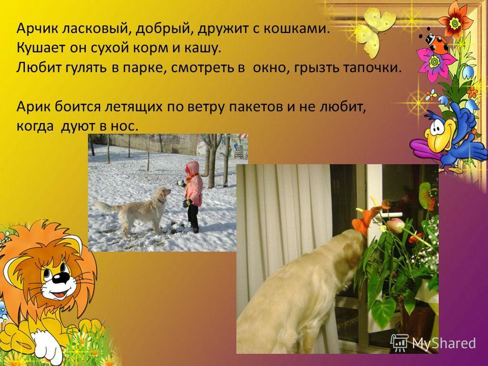 Арчик ласковый, добрый, дружит с кошками. Кушает он сухой корм и кашу. Любит гулять в парке, смотреть в окно, грызть тапочки. Арик боится летящих по ветру пакетов и не любит, когда дуют в нос.