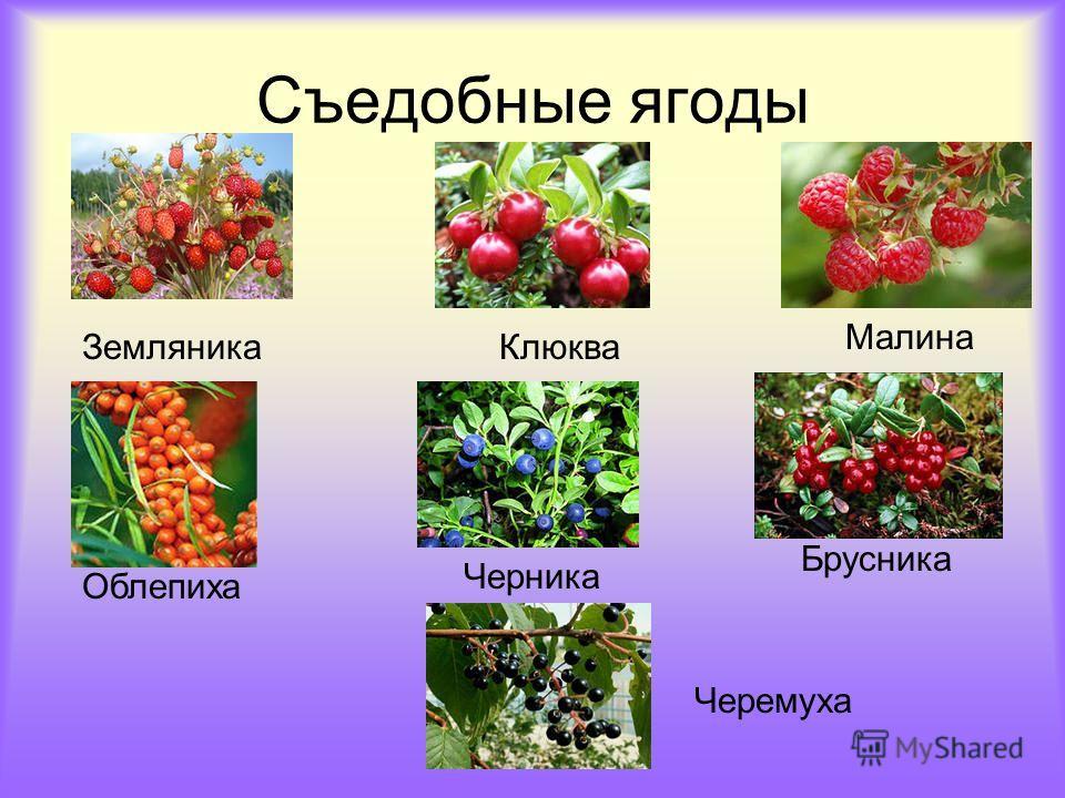 Съедобные ягоды ЗемляникаКлюква Малина Черника Облепиха Брусника Черемуха