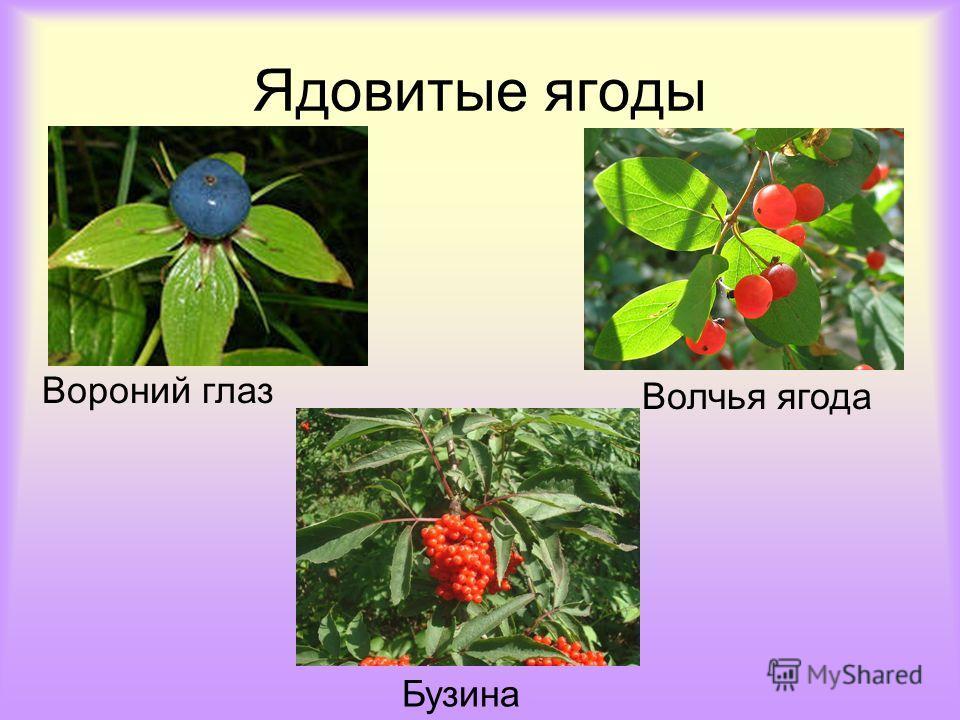Ядовитые ягоды Вороний глаз Волчья ягода Бузина