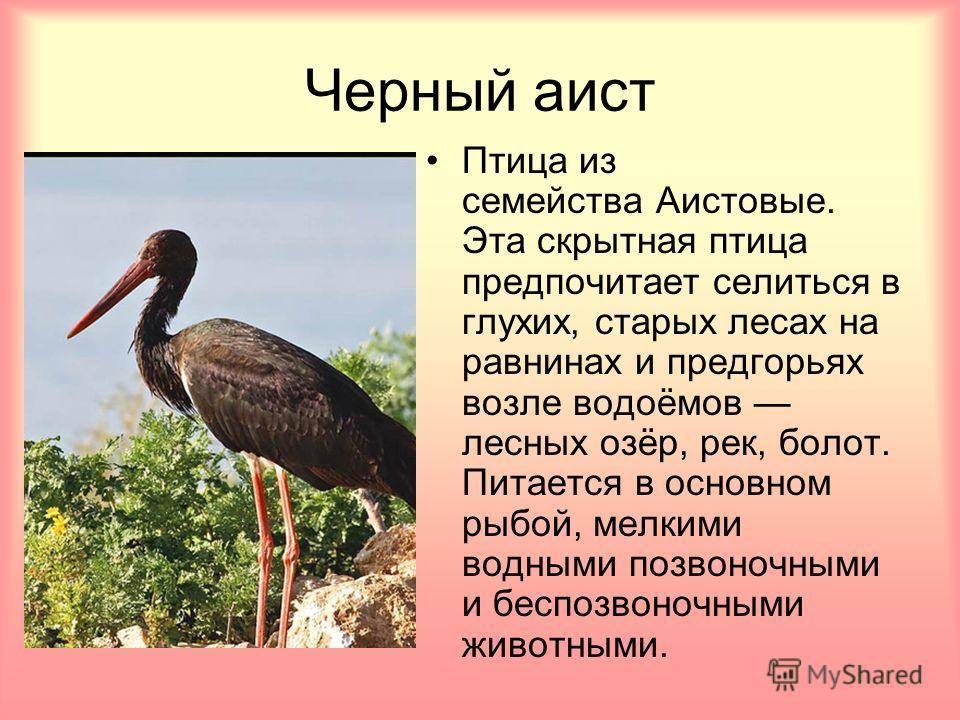 Черный аист Птица из семейства Аистовые. Эта скрытная птица предпочитает селиться в глухих, старых лесах на равнинах и предгорьях возле водоёмов лесных озёр, рек, болот. Питается в основном рыбой, мелкими водными позвоночными и беспозвоночными животн