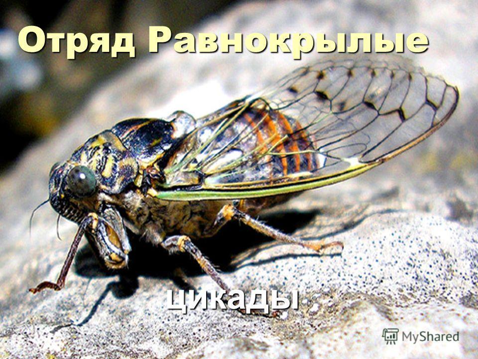 Отряд Равнокрылые цикады цикады