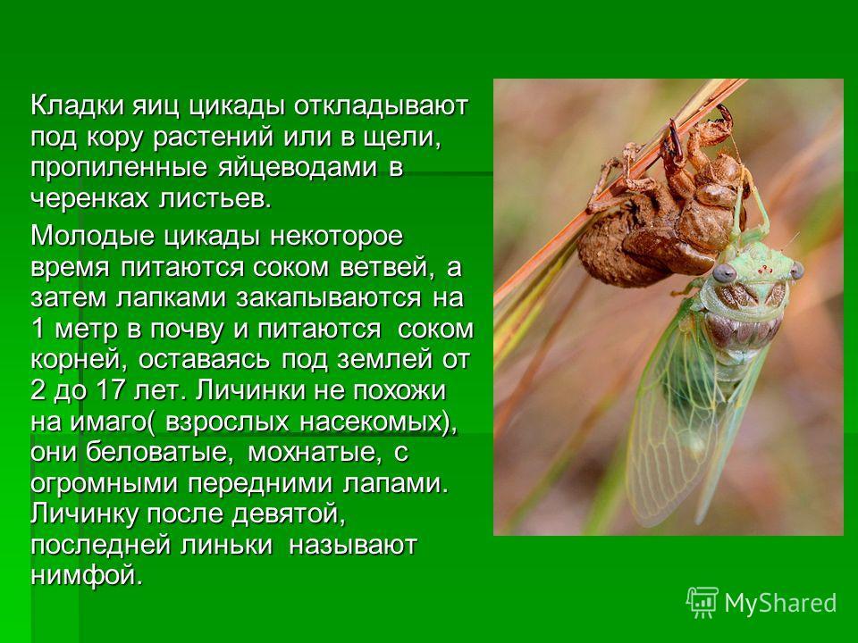 Кладки яиц цикады откладывают под кору растений или в щели, пропиленные яйцеводами в черенках листьев. Молодые цикады некоторое время питаются соком ветвей, а затем лапками закапываются на 1 метр в почву и питаются соком корней, оставаясь под землей