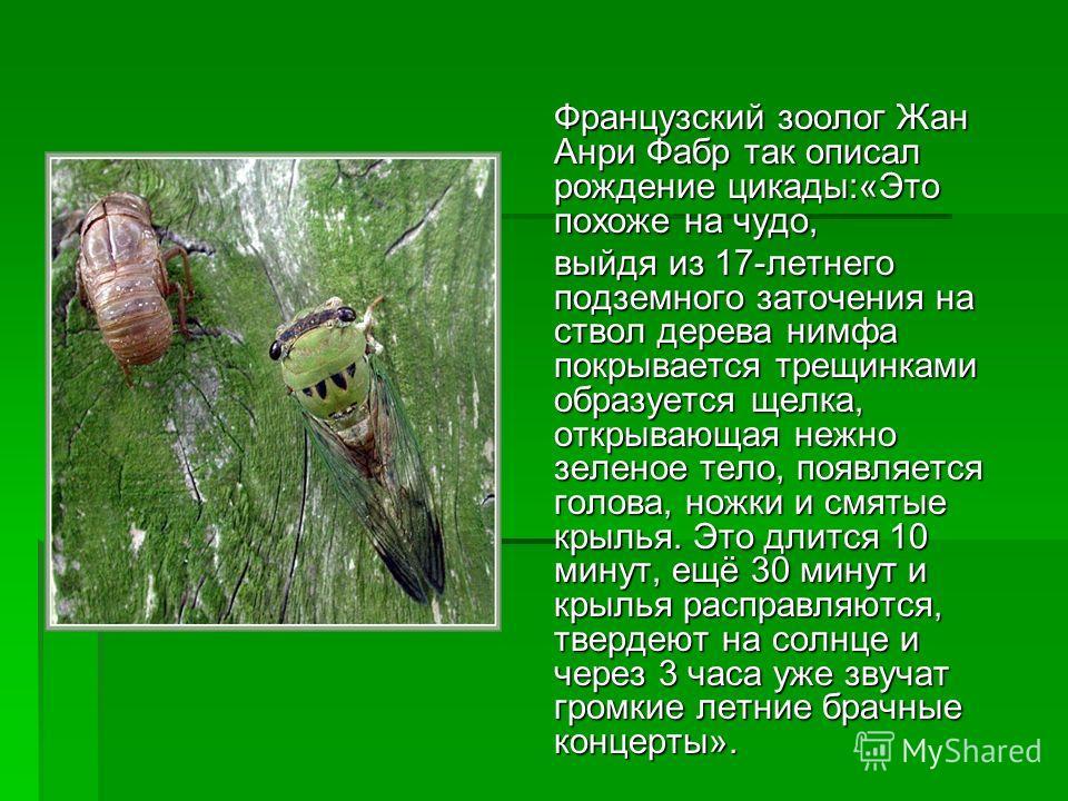 Французский зоолог Жан Анри Фабр так описал рождение цикады:«Это похоже на чудо, выйдя из 17-летнего подземного заточения на ствол дерева нимфа покрывается трещинками образуется щелка, открывающая нежно зеленое тело, появляется голова, ножки и смятые