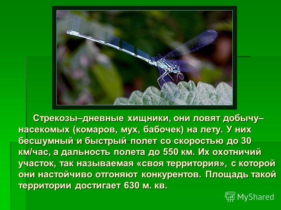 Стрекозы–дневные хищники, они ловят добычу– насекомых (комаров, мух, бабочек) на лету. У них бесшумный и быстрый полет со скоростью до 30 км/час, а дальность полета до 550 км. Их охотничий участок, так называемая «своя территория», с которой они наст