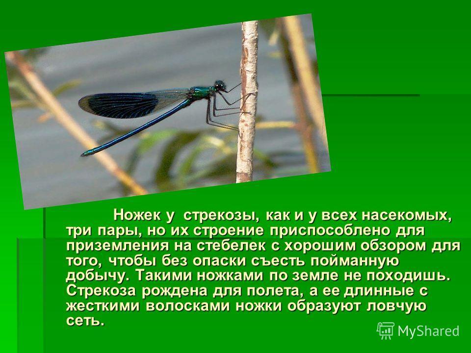 Ножек у стрекозы, как и у всех насекомых, три пары, но их строение приспособлено для приземления на стебелек с хорошим обзором для того, чтобы без опаски съесть пойманную добычу. Такими ножками по земле не походишь. Стрекоза рождена для полета, а ее
