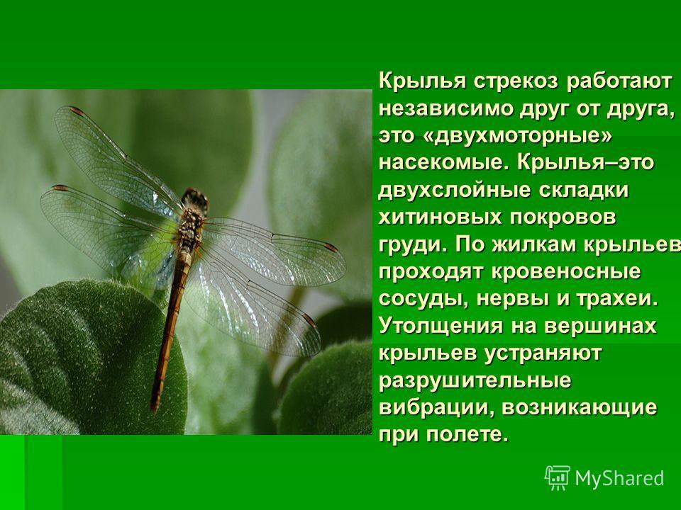 Крылья стрекоз работают независимо друг от друга, это «двухмоторные» насекомые. Крылья–это двухслойные складки хитиновых покровов груди. По жилкам крыльев проходят кровеносные сосуды, нервы и трахеи. Утолщения на вершинах крыльев устраняют разрушител